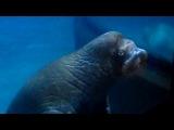 Очаровательный морж в океанариуме Валенсии)))